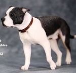 American Staffordshire Terrier (Walking/Black & White)