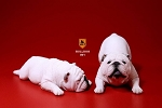 British Bulldog Set<BR>(White)